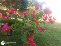 Vendo Bougainville Lindona  SempreVerde Plantas *
