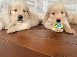 Golden retriever lindos pedigree ideal para crianças