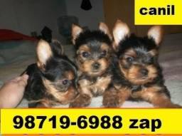 Canil Top Cães Filhotes BH Yorkshire Basset Lhasa Bulldog Beagle Shihtzu Maltês