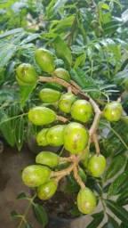 Cajá Mirim totalmente carregado frutos G