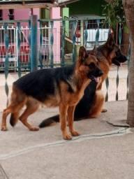 Cachorro pastor alemão