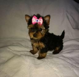 Linda princesinha yorkshire terrier disponível para seu novo lar