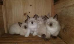Doação de gatinhos ( Siameses e outros )