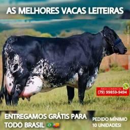 Venda de vacas girolanda e holandesa