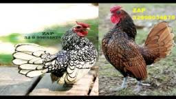 Venda de ovos galados da raça sebright prata e dourado (Zebraite) para reserva. Aproveite