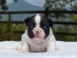 Bulldog Francês Macho Excelente linhagem e padrão.