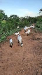 Cabras raça moxoto