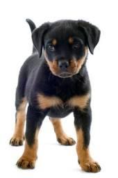 Rottweiler 500 reais