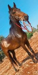 Pra venda cavalo capão 2.100