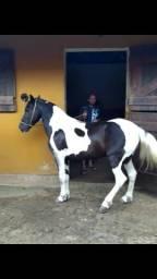 Vendo não fasso troca ,cavalo de marcha picada,10 mil muito cômodo de sela cavalo inteiro