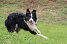 Border Collie ( Fotos da Internet ) !