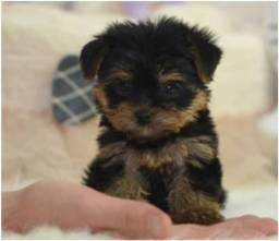Yorkshire Terrier baby face, 1,5 até 3 kg, padrão CBKC- (11)2369-3829 ou *