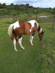 Potra / égua Paint horse