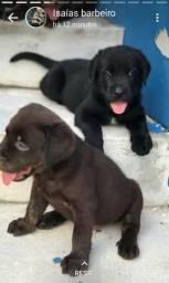 Labrador fêmea 400