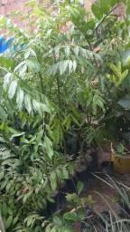 Plantas de Cajarana