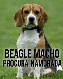 Beagle macho. Pra cobertura