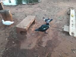 Vendo patos e patas em São Pedro do Turvo