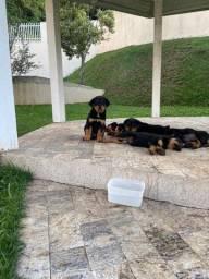 Filhotes de Rottweiler PURO