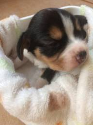 Filhote de beagle disponivel  para reserva