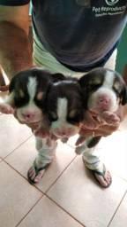 Filhote de beagle para reserva