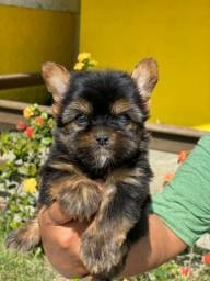 Canil Profissional Yorkshire Terrier