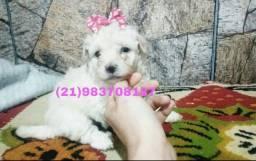 Poodlle toy fêmea