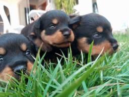 Filhotes Rottweiler Ji-Paraná - Puro