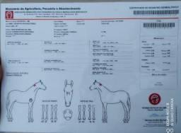 Egua mangalarga registrada