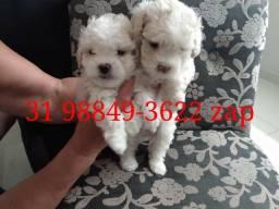 Canil Filhotes Cães Selecionados BH Poodle Lhasa Beagle Yorkshire Shihtzu Basset