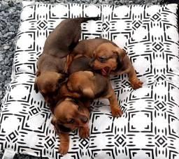 Filhote Basset Dachshund, conhecido como cachorro salsicha