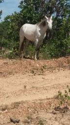 Cavalo macha picada *