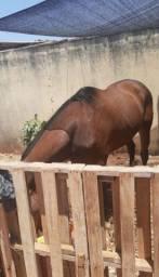 Cavalo inglês puro sangue Capão
