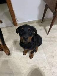 Rottweiler fêmea 3 meses
