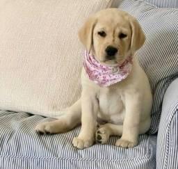Labrador femea a pronta entrega Caramelo