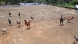 Vendo ou troco galinhas caipiras