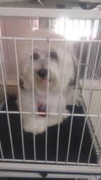 Procuro namorada para cachorro lhasa apso