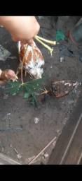 Vendo 2 galinhas indio gigante