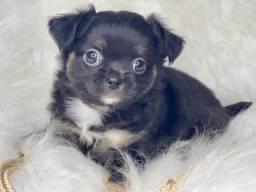 Perfeição em filhotes Chihuahua com pedigree