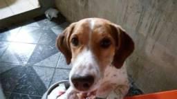 Beagle Misturado