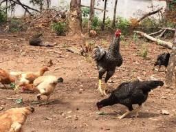 Vendo galinhas caipiras à R$2,00