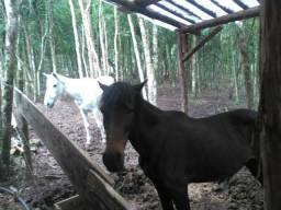 Vendo 1 cavalo e 2 egua