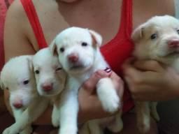 Vendo Filhotes de Labrador Puros