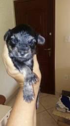 Filhotinho Yorkshire. terrier** poodle n1