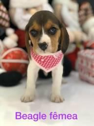 Beagle fêmea para sua família