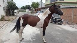 Vendo cobertura cavalo pampa homozigoto