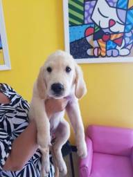 Filhotes? macho de Golden Retriever com Pedigree (CBKC)