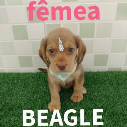 Linda bebê Beagle a sua espera