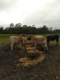 Vacas e touros