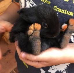 Filhotes de coelho de estimação em Uberaba