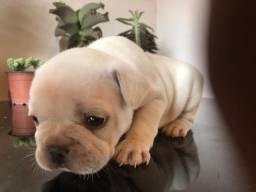 Cachorros Bulldog Francês